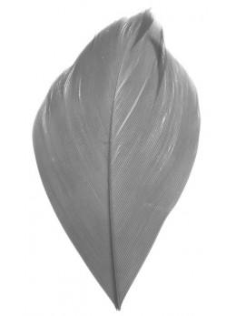 Plumes blanche