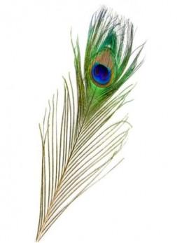3 plumes de paon 25cm